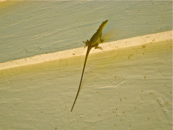 Anole lizard listening to a Roger Pinckney story on Daufuskie SC.jpg